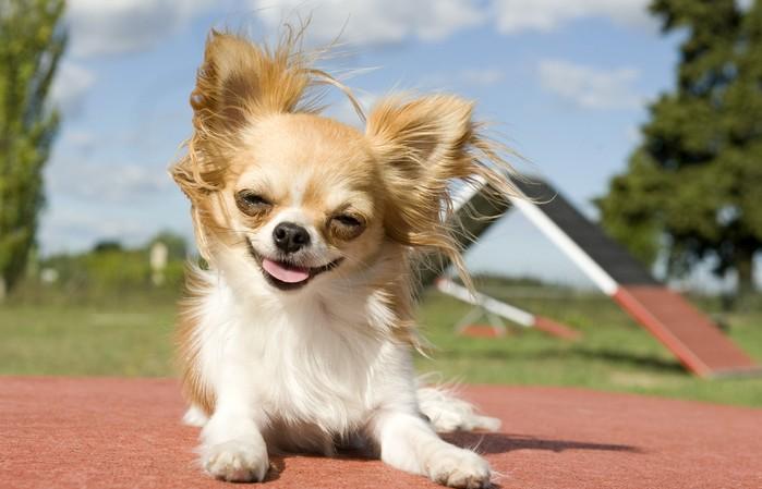 Die bevorzugten Aktivitäten des Chihuahua sind Spazierengehen und Agility. (Foto: shutterstock - cynoclub)