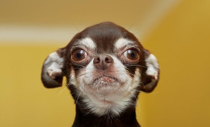 Der Züchter bedarf gerade beim Chihuahua des besonderen Augenmerks. (Foto: shutterstock - Sergey Lavrentev)