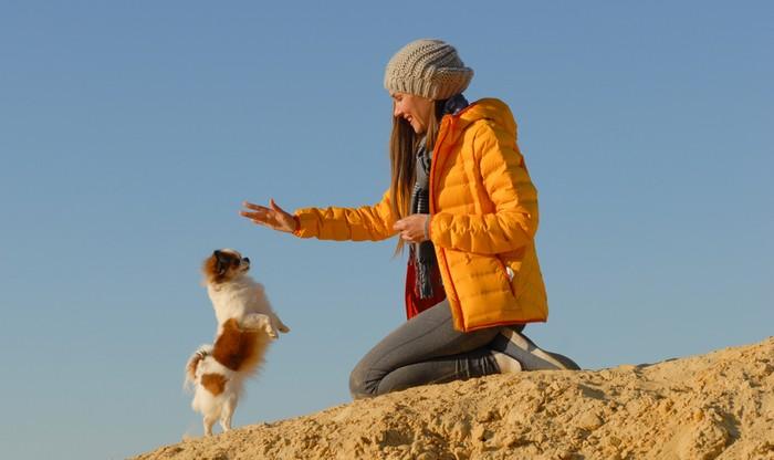 Mit der Erziehung des Chihuahua muss man früh und energisch beginnen. (Foto: shutterstock - Ruslan Shugushev)