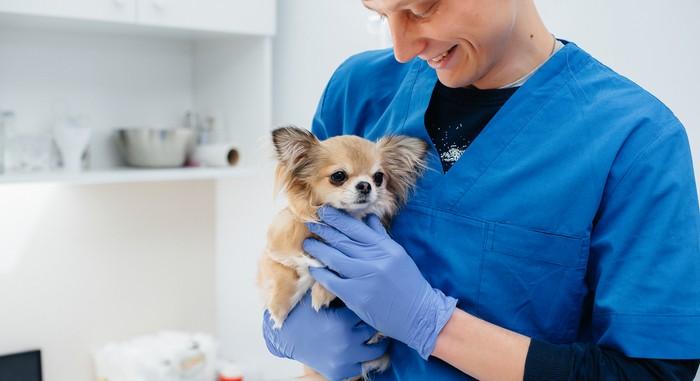Gesundheit & Pflege sind beim Chihuahua etwas schwierig. (Foto: shutterstock - Andrii Medvednikov)