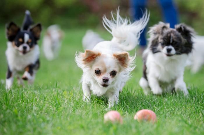 Für die Chihuahua-Welpen sollte das zuhause hundesicher gemacht werden. Wirklich. (Foto: shutterstock - alexks)