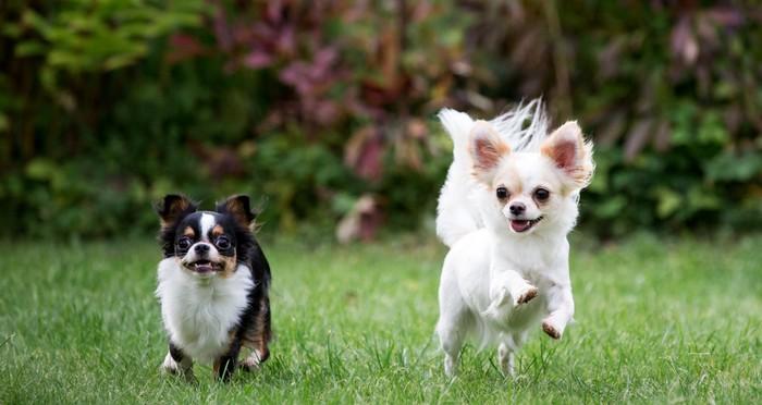 Wie passt der Chihuahua zu mir? Na, raten Sie mal.. (Foto: shutterstock - alexks)