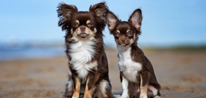 Chihuahua: das musst Du tun, um mit ihm auszukommen (Foto: shutterstock - otsphoto)