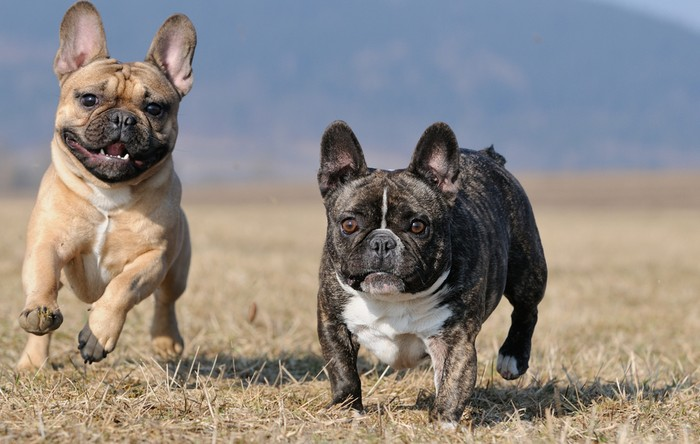 Aktivitäten und Sport für die Französische Bulldogge. Mehr die kleinen Brötchen, aber stets mit Elan! (Foto: shutterstock - anetapics)