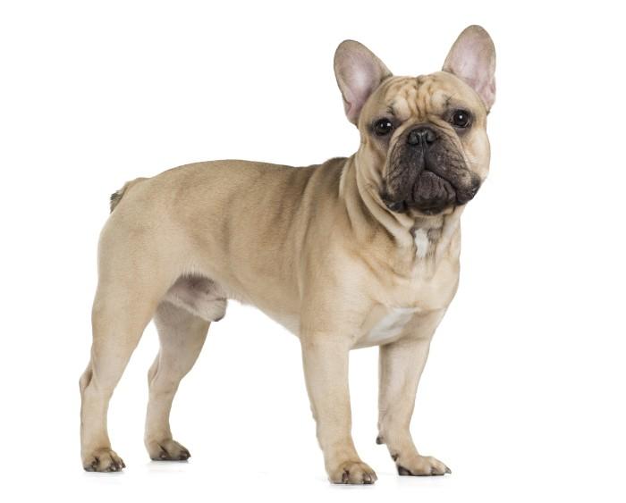 Der Charakter der Französischen Bulldogge ist einfach zu umschreiben: ein Kampfschmuser vor dem Herrn. (Foto: shutterstock - Vivienstock)