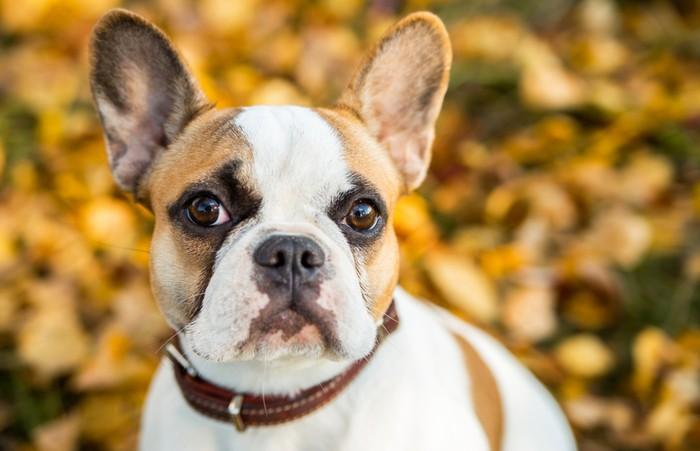Die Erziehung der Französischen Bulldogge und ihrer Welpen sollte ebenso konsequent wie liebevoll erfolgen. Wie das zu kombinieren ist? Finden Sie es heraus! (Foto: shutterstock - Vikafoto33)