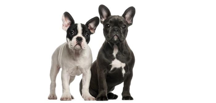 Französische Bulldogge: so wird Dein bester Freund daraus (Foto: shutterstock - Eric Isselee)