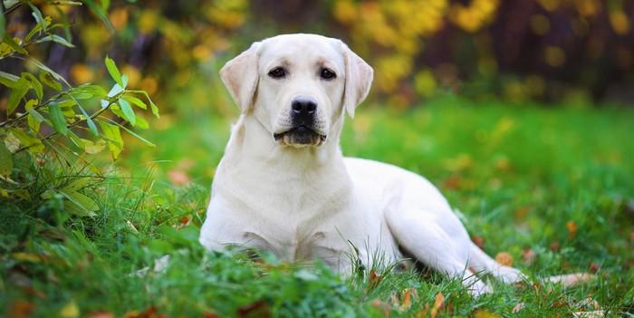 Was gehört zur Anschaffung eines Labrador Retriever? Es ist nicht nur die Frage der Kosten. Der Labbi braucht Platz in Wohnung und leben. Dessen muss man sich bewusst sein.
