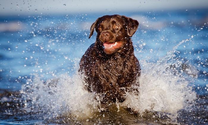 Die Erziehung des Labrador Retriever? Die darf ruhig im Wasser stattfinden... (Foto: shutterstock - otsphoto)