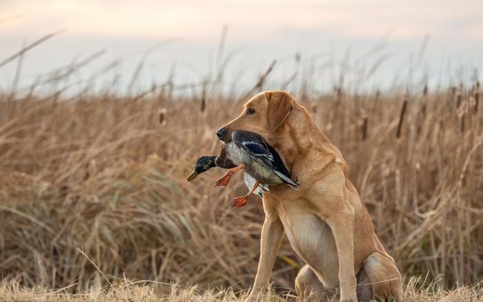 Die Geschichte des Labrador Retriever? Die hat natürlich mit Wasser und der Jagd zu tun. Auf dem Foto sieht man es auch: es liegt ihm! (Foto: shutterstock - Lauren Pretorius)
