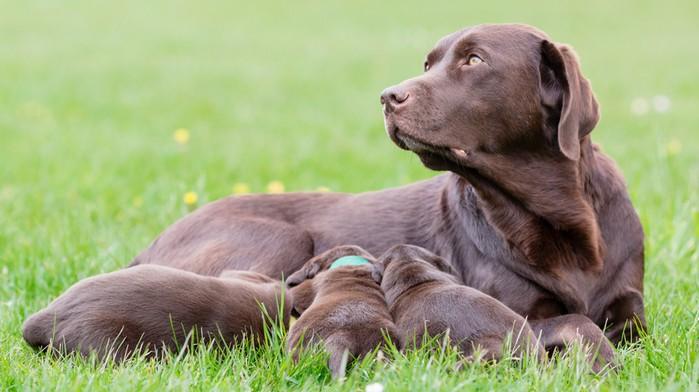 Nicht jeder Züchter ist für einen Labrador Retriever geeignet. Eine seriöse und liebevolle Zuchtstätte sind wichtig. (Foto: shutterstock - BIGANDT.COM)