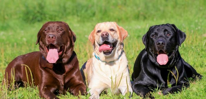Labrador Retriever: Was er braucht und was er Dir gibt! (Foto:shutterstock - Rosa Jay)