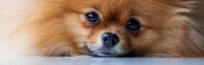 Die Anschaffung eines Pomeranian ist eine Entscheidung für 14-16 Jahre der Freude. (Foto: shutterstock - barinovalena)