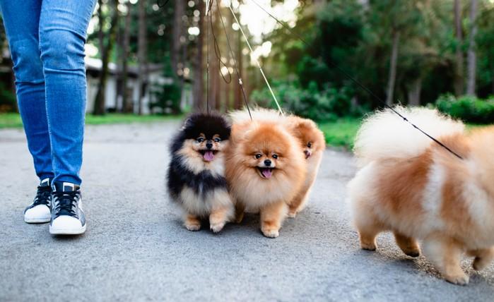 Das Aussehen des Pomeranian hat mit zu seiner Beliebtheit beigetragen. (Foto: shutterstock - hedgehog94)