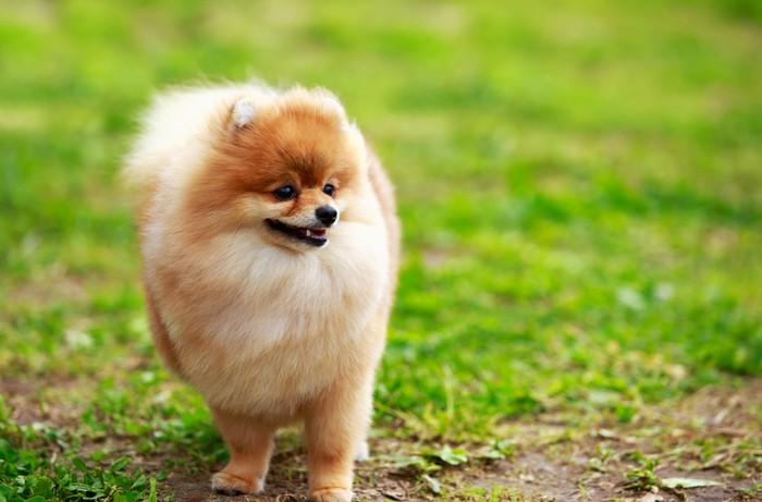 Der Pomeranian hat einen wunderbaren Charakter: weder ängstlich noch aggressiv - und er ist leicht zu erziehen. (Foto: shutterstock - Olga Aniven)