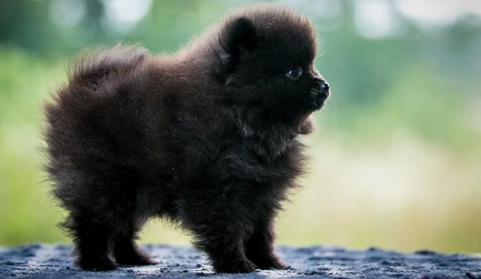 Gesundheit & Pflege des Pomeranian sind weitestgehend unproblematisch. Einige Aufgaben hat er allerdings auch im Rucksack. (Foto: shutterstock - Eve Photography)