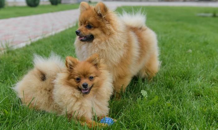 Beim Kauf eines Pomeranian sollte man bei der Wahl des Züchters sehr vorsichtig sein. (Foto: Shutterstock - Alla - Din)