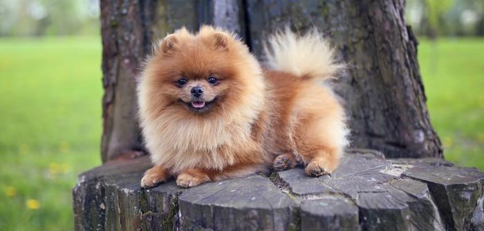 Pomeranian: das musst Du ihm geben, damit er Dich nie vergisst(Foto:shutterstock - KristinaSh)