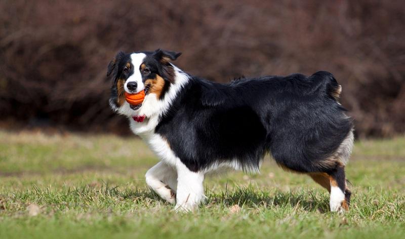 Als Besitzer eines Australien Shepherds hat man wie alle anderen Hundebesitzer einer mittelgroßen Rasse auch, nicht unerhebliche Kosten. ( Foto: Shutterstock- Sbolotova )