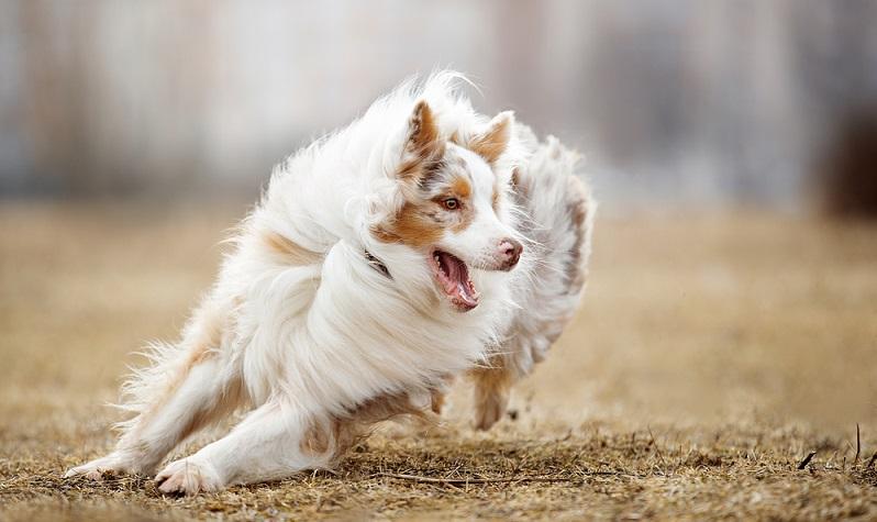 Der Australian Shepherd ist ein Hund mit einem inneren Auftrag. Als Hüte- und Treibhund von Schafen und Rindern gezüchtet, liegt es in seinen Genen zu Hüten. ( Foto: Shutterstock-Vivienstock)