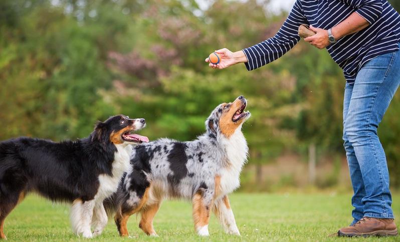 Mit einem Australian Shepherd sollte man eine gute Hundeschule besuchen, die sich auf Aussies spezialisiert hat oder sich zumindest mit der Rasse gut auskennt. ( Foto: Shutterstock-Christian Mueller )