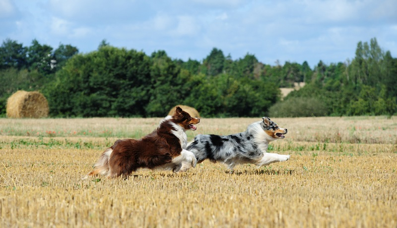 Der Australian Shepherd kommt gar nicht aus Down Under, sondern stammt aus Nord- und Westamerika. Der genaue Ursprung des Australian Shepherds ist nicht dokumentiert. ( Foto: Shutterstock-_Julia Remezova )
