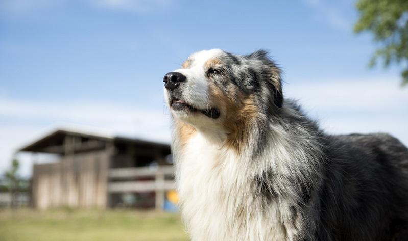 Für den sensiblen Australian Shepherd benötigt man nicht nur ausreichend Zeit, sondern auch einen ausgereiften, gradlinigen Charakter, der sich mit Hütehunden auskennt. ( Foto: Shutterstock-CatrionaC )