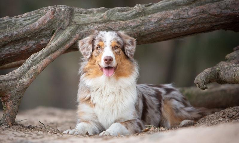 Auch die robusten Australian Shepherds haben mittlerweile einige rassetypische Erbkrankheiten, die durch unkontrolliertes Vermehren unseriöser Züchter entstanden sind. ( Foto: Shutterstock-pawlove.de )