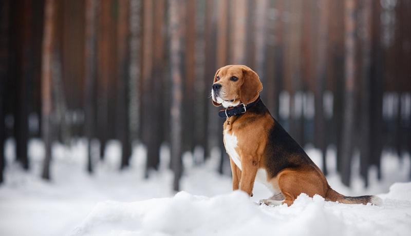 Ein Beagle ist ein sehr lebendiger Hund, der bis zu 15 Jahre alt werden kann. Man sollte sich daher vor der Anschaffung gut überlegen, ob die Fellnase für die nächsten 15 Jahre zu der Lebensplanung passt.  ( Foto: Shutterstock-dezy)