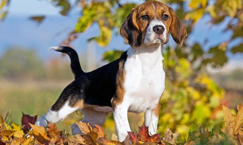 Der Beagle ist ein freundlicher, intelligenter, neugieriger und dem Menschen zugewandter Hund.  (Foto: Shutterstock-Lenkadan)