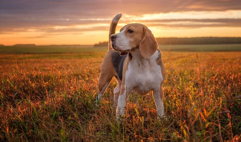 Der Beagle, beziehungsweise sein Vorfahre, wurde von den Nachkommen der Wikinger, den Normannen um 1066 bei der Eroberung Englands unter Wilhelm der Eroberer (? – 1087) mit auf die Insel gebracht.  ( Foto: Shutterstock- Alexey Androsov )