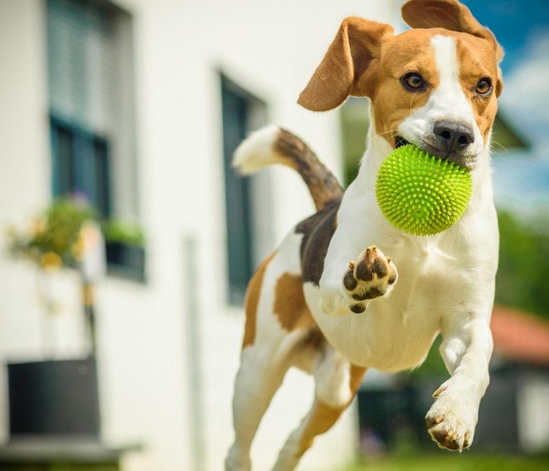 Beagle Welpen sind wie alle kleinen Hundewelpen richtig kleine Racker.  ( Foto: Shutterstock-Przemek Iciak )