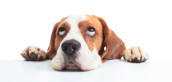 Beagle: so gewinnst Du sein Herz ( Foto: Shutterstock- Igor Normann_)
