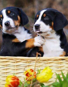 Berner Sennenhund: darum muss man dieses Landei lieben! ( Foto: Shutterstock-SubertT)