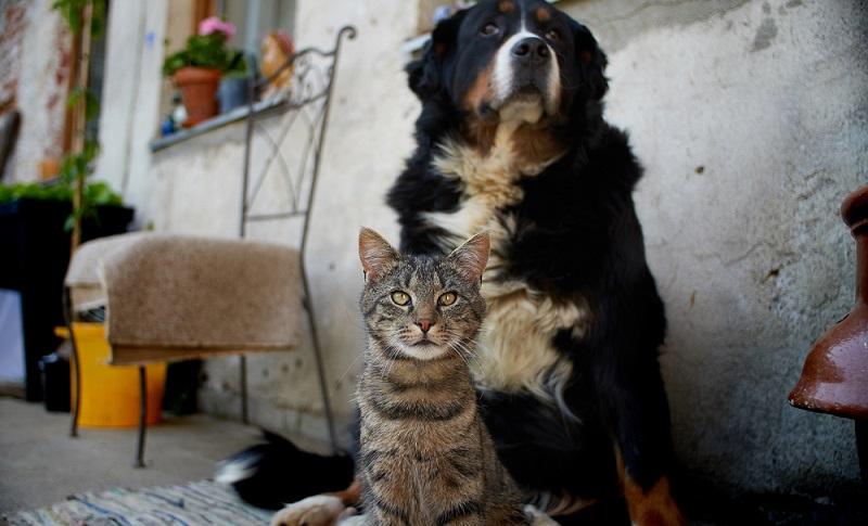 Der Berner Sennenhund ist ein großer Hund, der ausreichend Platz drinnen und draußen benötigt. Ein Haus mit Garten sollte vorhanden sein. ( Foto: Shutterstock-Sirius3001)