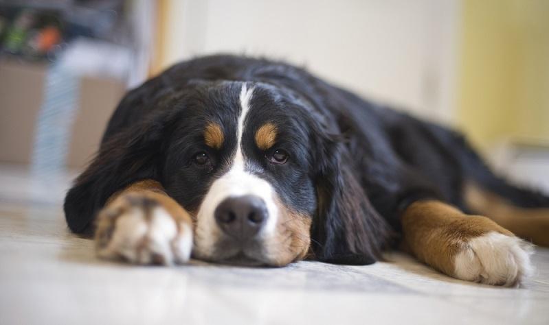 Zuerst sind aber die vier Wände und der Garten für den noch kleinen Schweizer Hundesicher zu machen. Gegenstände, die ihn verletzten oder gar lebensgefährlich werden können müssen aus seiner Reichweite gebracht werden. ( Foto: Shutterstock-Danielle Valiquette )