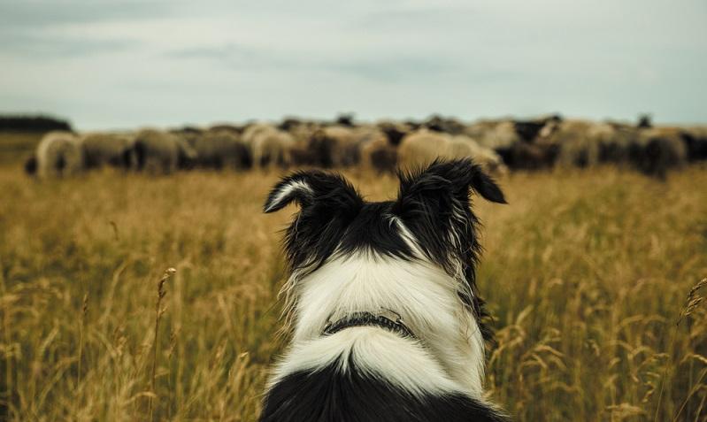 Der Border Collie ist kein Hund, der sich als Begleiter fürs Spazierengehen, Radfahren oder Joggen zufriedengibt. ( Foto: Shutterstock-dm-visign )