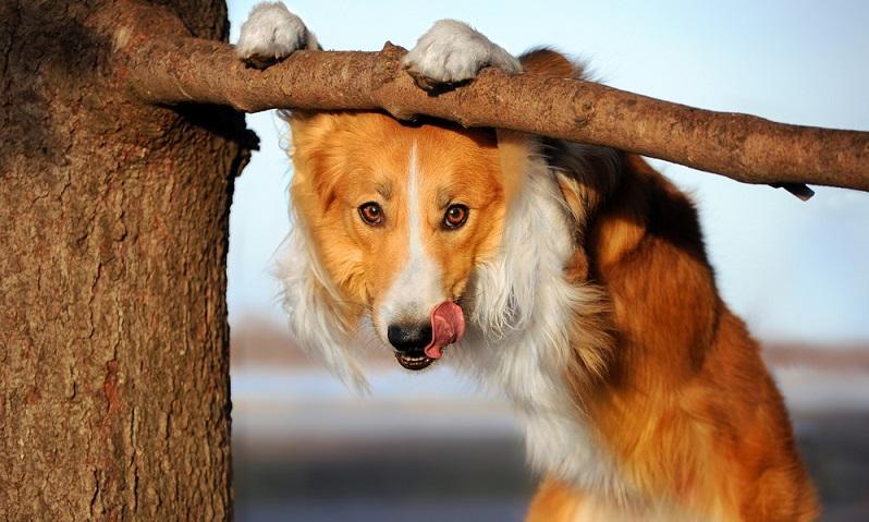 Holt man sich einen Border Collie ins Haus, hat man eine besonders große Verantwortung für ein Hundeleben. Border Collies sind hoch spezialisierte Hütehunde, die seit Jahrhunderten ausschließlich für das Hüten von Schafen gezüchtet worden sind. ( Foto: Shutterstock- Ksenia Raykova)