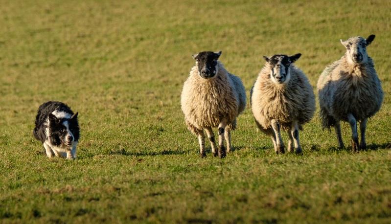 Der Border Collie wird seit hunderten von Jahren gezielt als Hütehund für Schafe gezüchtet. Dementsprechend unauslöschlich ist in den Genen des Border Collies das Hüten verankert. ( Foto: Shutterstock- Shaun Barr_)