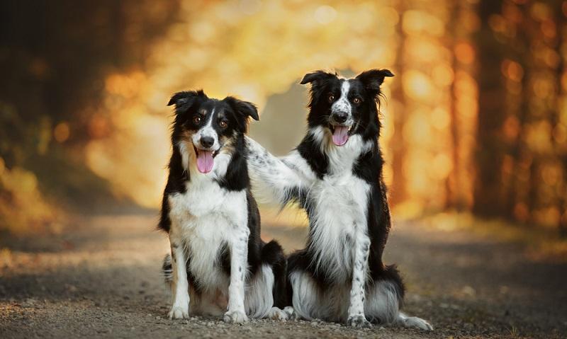 Der sensible Border Collie ist dank seiner extrem guten Auffassungsgabe ein Hund, der schnell lernt. Wichtig ist das man als Rudelführer seine Stellung im Mensch-Hund-Team sanft, aber konsequent einfordert. ( Foto: Shutterstock- Lelusy)