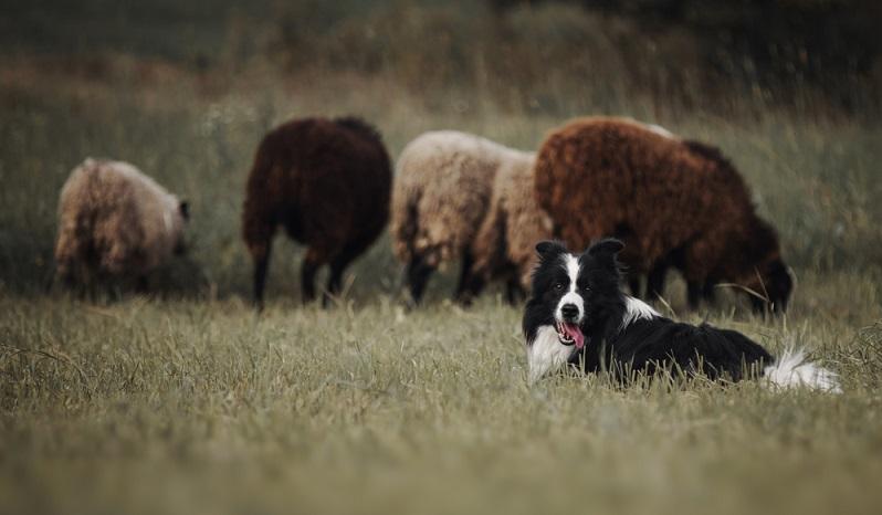 Verantwortungsvolle Border Collie Züchter schauen sich die zukünftigen Border-Halter gut an. ( Foto: Shutterstock-Julia Siomuha )