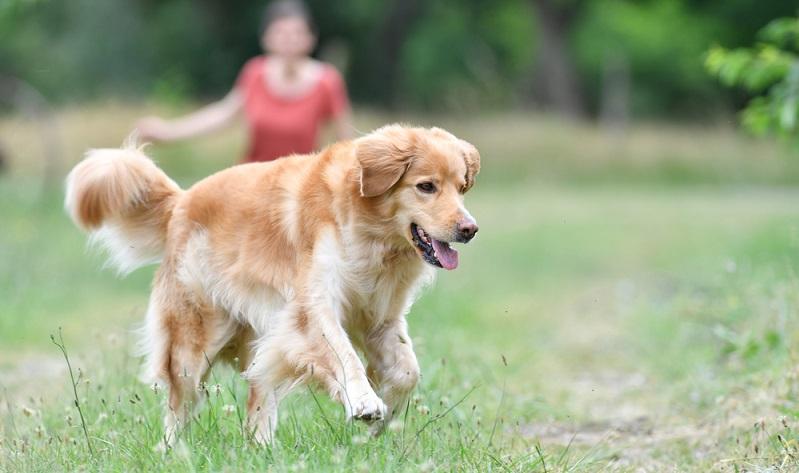 Bereits vor der Anschaffung sollte man die Gesetze zur Hundehaltung in seinem Bundesland gut kennen. ( Foto: Shutterstock-goodluz )