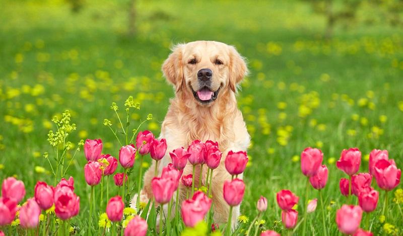 Der Golden Retriever ist ein friedvoller, fröhlicher und verspielter Hund. Der Golden ist ein sehr bewegungsfreudiger Hund und rennt gern mit anderen Fellnasen um die Wette. ( Foto: Shutterstock- Veronika Seppanen)