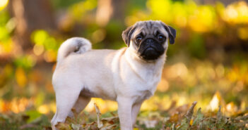Mops: so fühlt er sich bei Dir am wohlsten ( Foto: Shutterstock- Khilenko Anastasiia)
