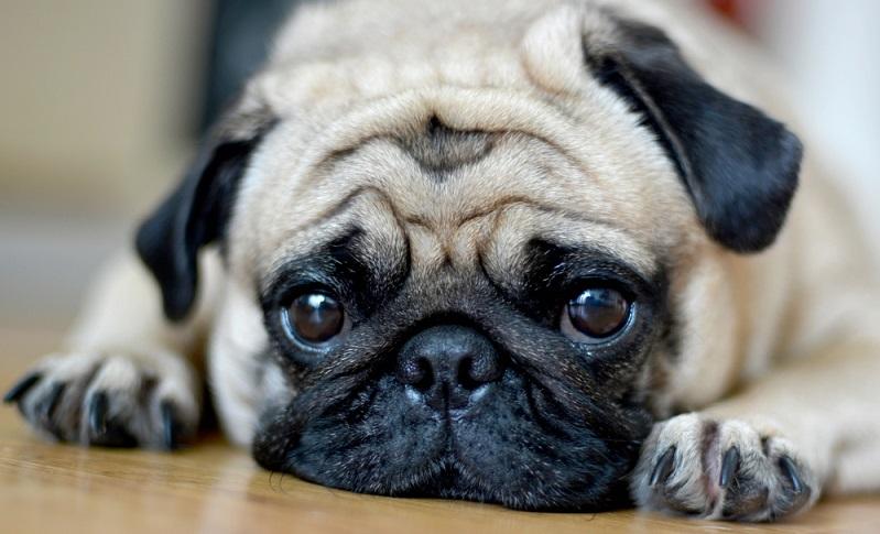 Egal ob man sich einen Mops anschafft oder einen anderen Hund, man muss sich bewusst sein, dass man die Verantwortung für ein Lebewesen übernimmt. (Foto: Shutterstock- ponpimonsa_bibi )