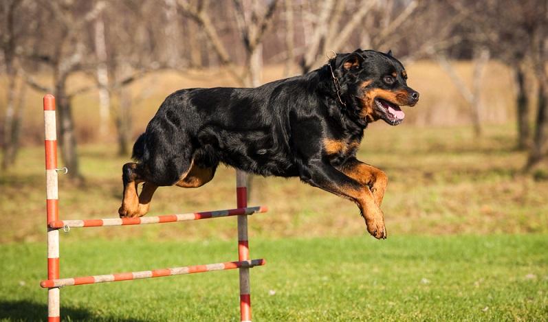 Für einen ausgeglichenen Rottweiler ist die geistige und körperliche Auslastung sehr wichtig. Er benötigt am Tag mehrere Stunden Auslauf. ( Foto: Shutterstock- Rita_Kochmarjova)