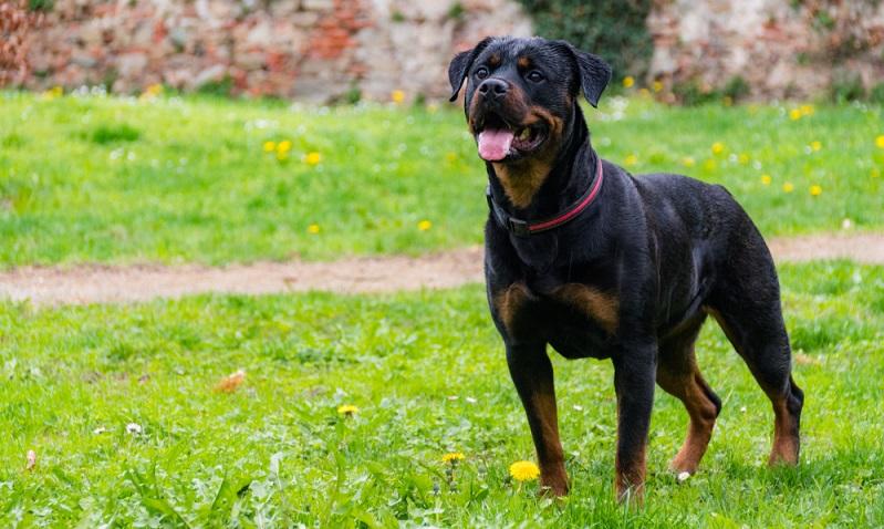 Man muss sich im Klaren sein, dass man als Halter eines Rottweiler von seiner Umgebung immer unter Beobachtung steht. ( Foto: Shutterstock- ImeoNPh )