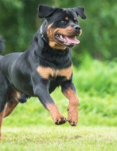 Rottweiler: so findest Du in ihm Schutz und Wohlbehagen ( Foto: Shutterstock-_Rita_Kochmarjova )