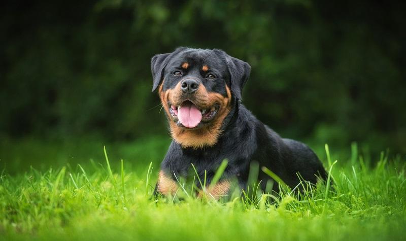 Die Rottweiler Wesensbeschreibung laut Rassestandard beschreibt hingegen seinen Charakter als ruhig und ausgeglichen. ( Foto: Shutterstock- Rita_Kochmarjova )