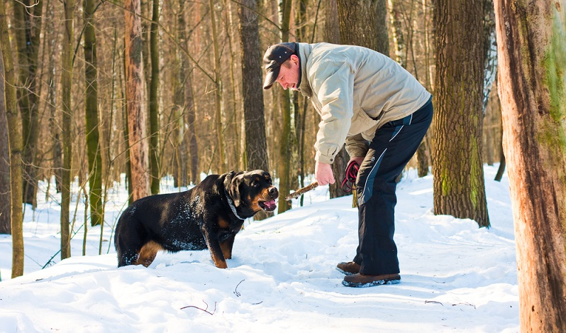 Wer sich einen Rottweiler zulegt, muss sich intensiv mit der Sozialisierung und Erziehung des Hundes beschäftigen. ( Foto: Shutterstock- Tatiana Mako
